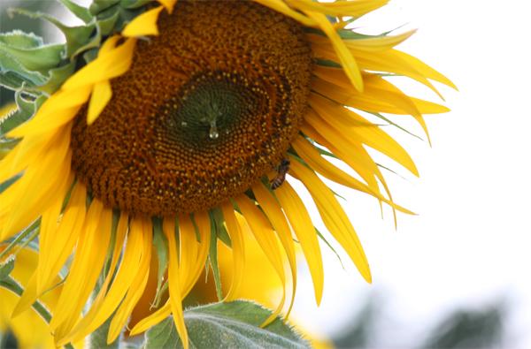 bobbing beauty of a sunflower in our school garden