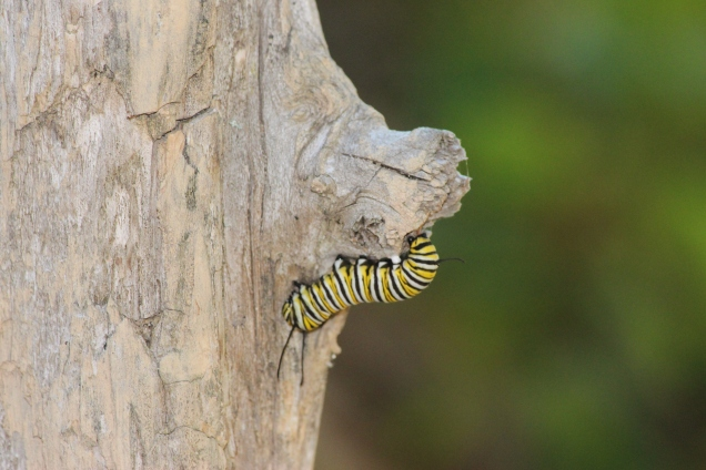monarch.caterpillar