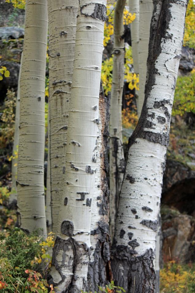 aspen.grove.1.jpg
